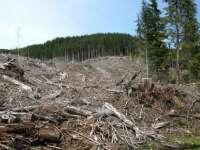 LA PIOVRA DE MARAMUREŞ - O parte din mafia lemnului, după gratii. Cum au fost măcelărite pădurile din judeţ