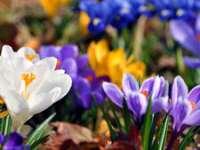 Leacuri din grădina noastră: Brânduşele