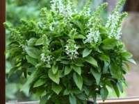 Leacuri din grădina noastră: Busuiocul - plantă aromatică cu multiple avantaje pentru sănătate