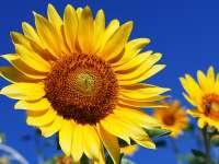 Leacuri din grădina noastră: Floarea-soarelui