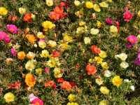 Leacuri din grădina noastră: Florile de piatră