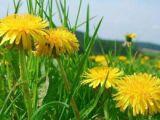 Leacuri din grădina noastră: Păpădia - aliment și detoxifiant
