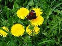 Leacuri din grădina noastră: Păpădia - un remediu pentru 100 de boli