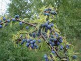 Leacuri din grădina noastră: Porumbele
