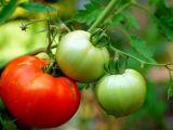 Leacuri din grădina noastră: Roșiile
