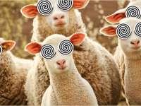 Lumea fierbe, oile rămân