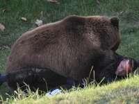 DESCOPERIRE MACABRĂ: Cadavrul unui bărbat, descoperit în timp ce era târât de un urs