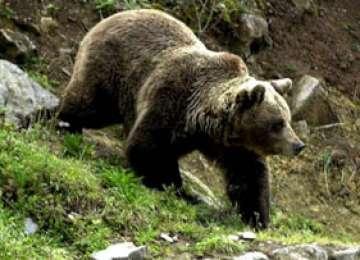 MARAMUREŞ: Bărbat atacat şi muşcat de urs în timp ce cobora de la o stână