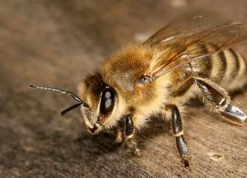 MARAMUREŞ: O femeie a decedat iar un bărbat este în comă după ce au fost înțepați de albine