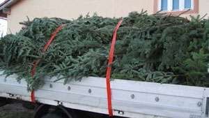 MARAMUREŞ: Pomi de Crăciun transportaţi fără documente de provenienţă