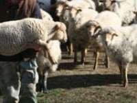 MARAMUREŞ: Un minor a sustras şase oi de la o stână. Alte trei persoane bănuite de furt au fost identificate de poliţişti
