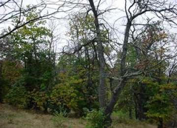 Maramureș: Aproape 1.000 de hectare de castan comestibil, atacate de virsul cancerului de scoarță
