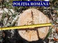 MARAMUREȘ: Aproape 60 mc lemn confiscat ieri de poliţişti