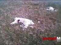 MARAMUREȘ – Câini împușcați și lăsați să zacă pe un câmp, în Coruia
