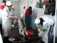 Mieii sacrificați în punctele autorizate din județ, verificați de medicii veterinari