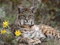 Munții Maramureșului adăpostesc 20 de râși și 80 de lupi