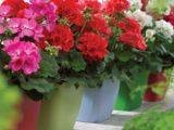 Mușcatele – plantele care dau culoare și lumină casei tale. Cum să le îngrijiți în sezonul rece