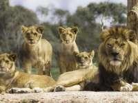 NATURA SE RĂZBUNĂ - Braconieri de coarne de rinocer, devoraţi de lei într-o rezervaţie