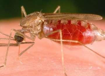 O nouă formă de malarie, imună la tratament, pe cale să se răspândească global