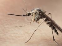 O nouă maladie transmisă de țânțari a fost identificată în Haiti