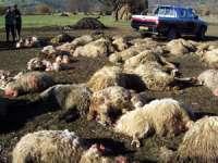 O stână din Maramureş a fost atacată de lupi