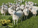 O turmă de oi a produs pagube însemnate într-un sat după ce animalele au mâncat...canabis