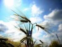 OIPA estimează producţii agricole mai mari cu până la 60% în 2013