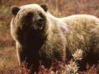 Pentru a nu coborî la casele oamenilor, urșii din Maramureș vor fi hrăniți de autorități