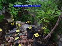 PERCHEZIŢII – Culturi de cannabis descoperite în Baia Mare, Satu Mare şi Groşi