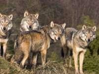 PERICOL: Stână atacată de lupi în Bistra