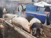 PESTA PORCINĂ: Porcii din Maramureş, interzişi în târguri