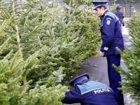 Peste 130 pomi de Crăciun confiscați de polițiști în Baia Mare și Sighetu Marmației