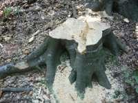 POIENILE DE SUB MUNTE - 44 mc material lemnos confiscat de poliţişti