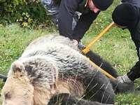 Poienile de sub Munte - Urs salvat de autorități după ce a fost prins într-un laț