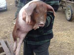 POLIŢIA: În preajma sărbătorilor o familie din Dragomireşti a rămas şi fără bani şi fără porc