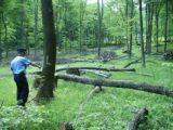 POLIȚIA: Doi bărbați prinşi în flagrant în timp ce tăiau arbori nemarcaţi