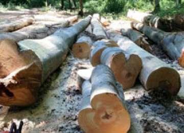 POLIȚIA: Maramureşeni cercetaţi pentru infracţiuni la regimul silvic