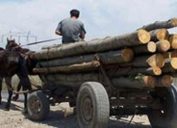 Poliţiştii au acţionat la Săpânţa, Valea Vişeului şi Strâmtura pentru combaterea delictelor silvice