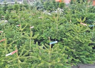 Polițiștii din ţară au confiscat în 2013 cei mai mulți pomi de Crăciun din ultimii trei ani