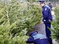 Pomi de Crăciun confiscaţi de poliţiştii borșeni