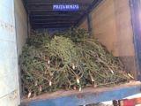 Pomi de Crăciun confiscaţi de poliţiştii maramureșeni