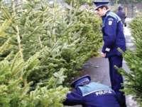 Pomi de Crăciun în valoare de 2.325 lei, confiscaţi la Poienile de sub Munte