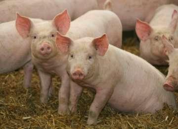 Porcii nu vor fi comercializați în târgurile de animale din Maramureș nici de sărbătorile de iarnă