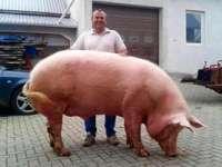 Povestea lui Giorgio, porcul de peste 500 de kilograme!