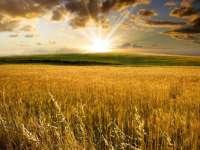 Preţul grâului revine la nivelul anterior secetei de anul trecut