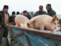 Primăriile din Maramureş, avertizate în privinţa Pestei Porcine Africane