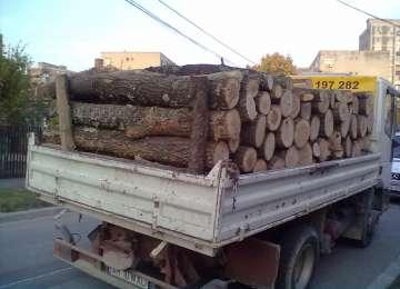 Prinşi în flagrant de pădurar în timp ce sustrăgeau material lemnos