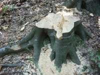 SARASĂU - Tăiere ilegală şi furt de arbori
