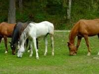 SIDA cailor, prezentă în Maramureşul istoric