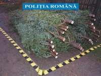 SIGHET: Amenzi aplicate și pomi de Crăciun confiscați de polițiști